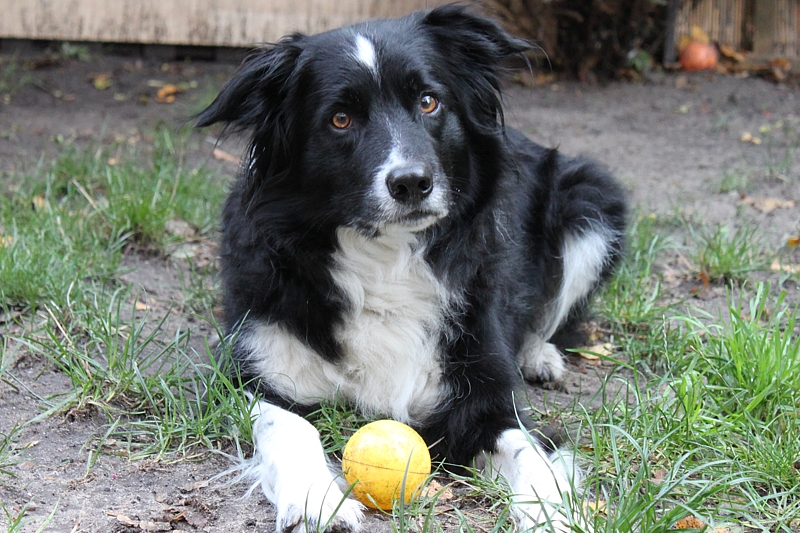 A106-Border-Collie-Sammy-2009