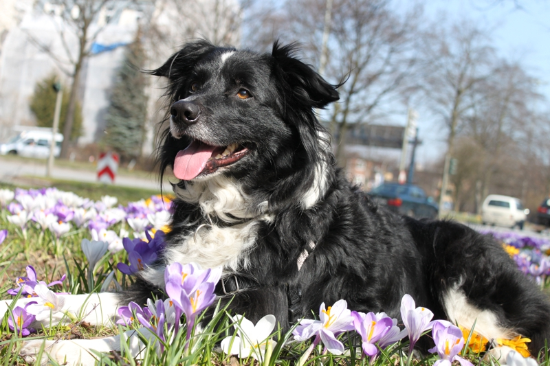 A107-Border-Collie-Sammy-2007