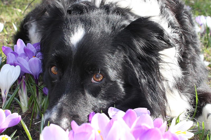 A128-Border-Collie-Sammy-2007
